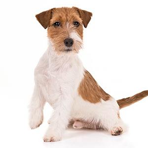 жесткошерстный щенок.jpg