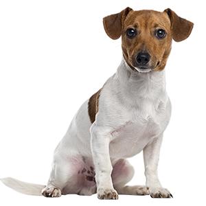 гладкошерстный щенок фокса.jpg